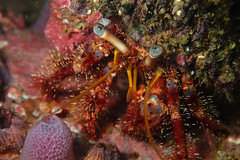 Left handed hermit crab - Diogenes spinifrons (Gomen S) Tags: ocean china sea summer hk macro nature animal hongkong marine asia afternoon underwater wildlife crab diving torch tropical 2016 tg3 olymups pt056