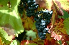 Jauchzet, ihr Winzer alle zugleich (amras_de) Tags: uga uva grape raisin mahats druif drue rasim traube weintraube rva zm druer grozdje vnber weinbeere ram viiniryple vinic vinstok druva szolo viinamari winorosl vinbero vinogas grode vynuoge grappugghia