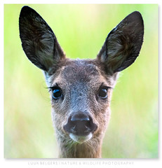 Mug shot (Luuk Belgers) Tags: roedeer mugshot nature naturephotography wildlife portrait