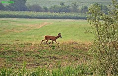 DSC_0114n mlyts httrf wb (bwagnerfoto) Tags: regly pacsmag eurpai z capreolus reh roe deer mammal animal fauna emls outdoor morning nature