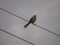 DSC04985 Sabi-Do-Campo (familiapratta) Tags: bird nature birds brasil iso100 sony natureza pssaro aves pssaros novaodessa novaodessasp hx100v dschx100v