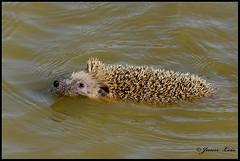 Erizo.  Hedgehog. (jleisfotos) Tags: naturaleza nature water agua wildlife animales hedgehog mammals bao erizo mamifero salvaje