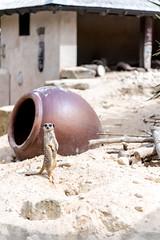 Meerkat (John P Norton) Tags: fauna meerkat copyright2016johnnorton f30 nikond750 13200sec tamronsp90mmf28divcusdmacro11f004n focallength90mm aperturepriority