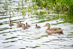 All in the family (rysykas) Tags: sinikaelpart mallard platyrhynchos canonef70200mmf4lusm sony a6300 metabonesivt