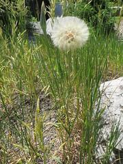 Huge dandelion (Joel Abroad) Tags: grandteton nationalpark jacksonhole dandelion flower
