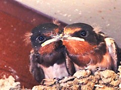P7242173 (eriko_jpn) Tags: bird swallow chicks