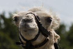 Baby Camel (jeannetbijlsma) Tags: camera baby nature animal animals fauna canon circus camel camels