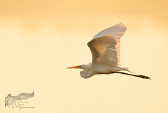 Great Egret Early Morning 7_18 (krisinct- Thanks for 12 Million views!) Tags: nikon g 500 f4 vr d500