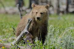 Eat Your Vegetables (matthewschonert) Tags: grizzly bear brown mammal yellowstone national park ynp wyoming raspberry snow eating foraging cub nature wildlife north america