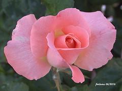 Toro (Zamora) 07 Rosa rosa (ferlomu) Tags: flor rosa toro zamora ferlomu