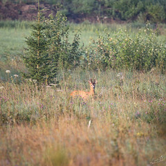 Foggy morning with deer (ilznelle) Tags: deer smoothie fog morning summertime outdoor