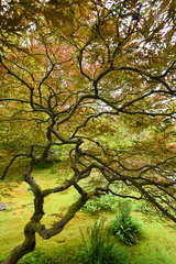 Lightning branches (jeff's pixels) Tags: wild tree nature japanese maple seattlejapanesegarden