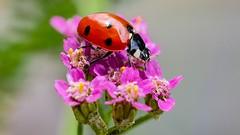 coccinelle (Yasmine Hens) Tags: coccinelle insecte insect macro red rouge hensyasmine hens yasmine flickr namur belgium wallonie europa panasonicdmcgx8