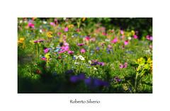 P7170003 (Roberto Silverio) Tags: flowers italy sun flower love italia unesco langhe zuikodigital olympuscamera lovecolors zuikolens loveflowers saledellelanghe olympusinspired