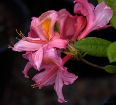 From Red to Pink (Jocey K) Tags: newzealand christchurch flower azalea