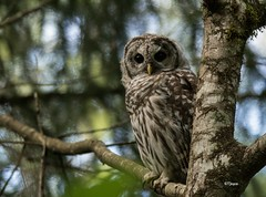 Barred Owl (T0nyJ0yce) Tags: barredowl wild owls raptor birdofprey birds wildlife nature