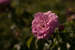 DSC_0214 (SebKomo) Tags: nikon d3000 f18 50mm qubec rivire stcharles nature landscape flowers fleurs natural lightning lumire naturelle