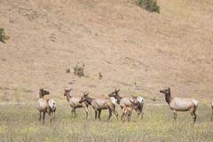 Tule Elk (J.B. Churchill) Tags: ca california cervuscanadensisnannodes mammals places pointpiedrasblancas sanluisobispo taxonomy tuleelk sansimeon unitedstates us