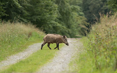 Ca traverse (Eric Penet) Tags: mormal sauvage animal wildlife wild nord nature france fort aot t locquignol avesnois faune mammifre forest sanglier boar femelle jeune petit suid