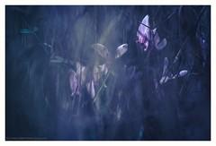 Of night (s1nano) Tags: tamronadaptall2sp90mmf25 tripod nikond7000 flowers cyclamen night lowkey lowlight dark bokeh dof nature