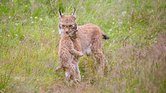 A mothers work is never done... (nemi1968) Tags: 8weeksold canon canon5dmarkiii ef100400mmf4556lisiiusm eurasianlynx gaupe langedrag lynx lynxcub lynxkitten markiii norway adorable animal animals bokeh carrying carryingcub carryingkitten cat catfamily closeup cub cute daughter female females grass kitten mother outdoor relaxed straws young