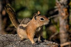 Hey - I like Cheetos! (craig goettsch) Tags: colorado groundsquirrel mammal wildlife nature brown eveninglight nikon d500 forest slumgullionpass sunrays5