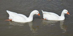 Having a quick dip (lcfcian1) Tags: oxford canal water duck swan animal bird nature oxfordcanal ansty warwickshire