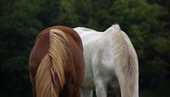 Grazen, grazen (Walraven) Tags: olympus oly grazen weiland paard paarden horse horses pasture gras