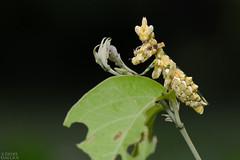 Mantis (Callibia diana) (ggallice) Tags: mantis mantodea losamigosbiologicalstation cicra madrededios peru amazon rainforest insect southamerica