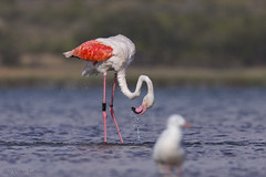 _NAT1242 (VictorD7000) Tags: flamencocomun phoenicopterusroseus nikond7200 sigma150600sport pnlagunasdelamatatorrevieja espaa alicante torrevieja lamata tumbing tumbihide birds birding birdwatching bao fauna faunaiberica flamencobaandose nature nikonnature aves