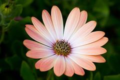 Osteospermum (Mukumbura) Tags: osteospermum africandaisy capedaisy daisy flower petals macro garden