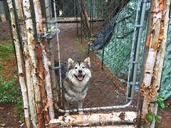 WOOF (BLEUnord) Tags: chien dog malamute malamuth malamuthe extrieur exterior enclos bois wood chienesquimau chienesquimaud nordique nordik nord alaskan alaska yukon