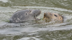 Romantic Seals (Full Moon Images) Tags: houghton mill nt national trust river great ouse cambridgeshire wildlife nature common harbour seal male female mating courting love romance