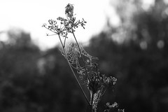 (decemberGirl.) Tags: web gossamer spidersilk dew morning bokeh nature 50mm summer blackandwhite apiaceae umbelliferae