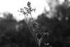 (decemberGirl.) Tags: web gossamer spidersilk dew morning bokeh nature 50mm summer blackandwhite apiaceae umbelliferae