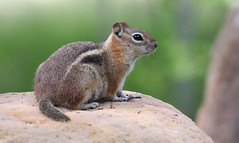 King of the Hill -- Golden-mantled Ground Squirrel (Spermophilus lateralis); Santa Fe National Forest, NM, Thompson Ridge [Lou Feltz] (deserttoad) Tags: nature newmexico animal rodent mammal fauna squirrel groundsquirrel behavior young nationalforest mountain
