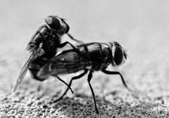(Paul McFarland) Tags: flies sex