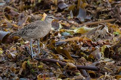Hudsonian Whimbrel (The Paranoid Birder) Tags: waders birdsincornwall whimbrel numeniushudsonicus perranuthnoe theparanoidbirder