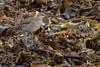 Hudsonian Whimbrel (The Paranoid Birder) Tags: waders birdsincornwall whimbrel numeniushudsonicus perranuthnoe theparanoidbirder hudsonian