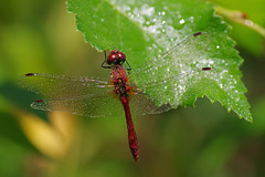 Dragon Drops (Hugobian) Tags: hertford heath nature reserve hmwt insect macro wildlife flora fauna pentax k1 ruddy darter dragonfly