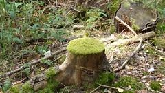 Wandern im Hunsrück: Moosbaum