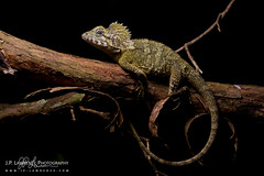Southern Angle-Headed Dragon (J.P. Lawrence Photography) Tags: 2016 australia2016 spring2016 travel agamidae australia herp herpetology herps hypsilurus hypsilurusspinipes lacertilia lizard lizards queensland reptiles reptile reptilia sauria squamata southernangleheadeddragon southernangleheadedlizard springbrook springbrooknationalpark squamates vertebrates vertebrata vertebrate