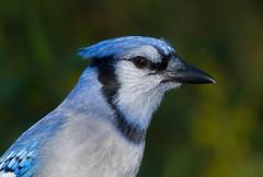 Blue Jay Portrait (mandokid1) Tags: canon canon500f4 1dmk1v birds bluejay