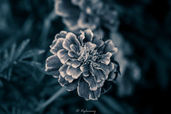 20160827-DSC_2909 (Vighnaraj Bhat) Tags: nikon d750 nikkor105mmf28gvr macro fullframe closeup flower blackwhite bw bokeh beautiful theunforgettablepictures bokehlicious beyondbokeh