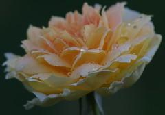 Dopo la pioggia (Mi che le) Tags: rose molineux rosa autumn autunno rosemolineux drops rain pioggia calabria