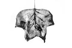 Autumn leaf (Misfit fotografie) Tags: autumn leaf high key highkey bw blackwhite