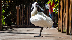P1150157 (Pursuedbybear) Tags: tarongazoo sydney sydney2016 spoonbill birds platalearegia royalspoonbill