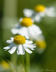 Chamomille / Kamille (josreimering1) Tags: chamomille kamille closeup macro macrophotography macrofotografie natuur nature bloem wit wittebloem white flower whiteflower depthoffield bokeh