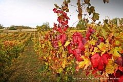 patches of color (_Nick Photography_) Tags: vigneto appennino valtrebbia autunno fall vineyard nickphotography bonarda bobbiano fallcolors redbokeh autumn red warmcolors