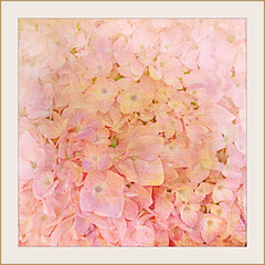 Breast Cancer Awareness... (Patlees) Tags: flower textured jai lenabem anna breastcancermonth
